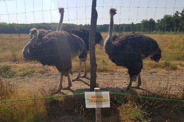 """Depuis 2019, le parc animalier """"Nature sauvage des Lacs"""" accueille des autruches, des émeus et des nandous."""