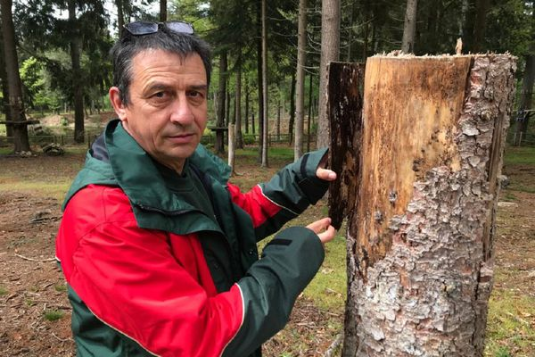 La forêt des Colettes (Allier) est attaquée par un parasite qui dévore les épicéas depuis un an.