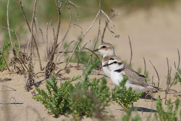 LeGravelotà collier interrompu qui fait escale sur lecordon dunaire, présent sur le banc d'Arguin en Gironde