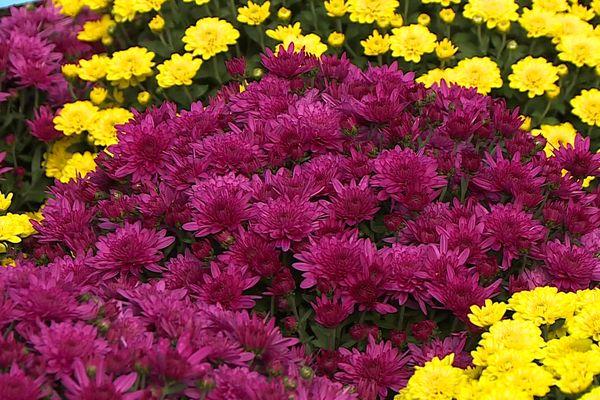 Le Chrysanthème reste la fleur la plus vendue pour les fêtes de la Toussaint et pour le jour des morts - 2021.