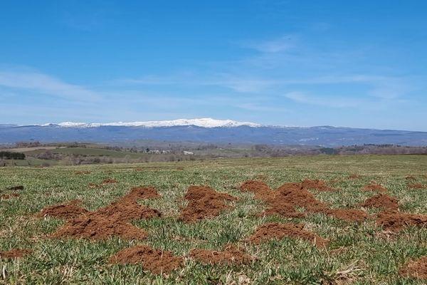 Les dégâts des campagnols dans les prairies de l'Aubrac