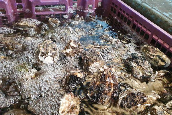 Les coquillages avant leur mise sur le marché doivent rester dans de l'eau de 24 à 48h par obligation sanitaire. Ici dans les bassins de Carteau, l'eau provient d'une nappe phréatique salée et coule en continu.