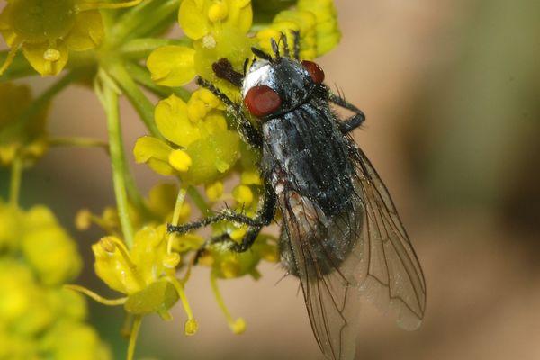 La mouche Wohlfahrtia magnifica pond ses oeufs sur des ovins qui les dévorent de l'intérieur.