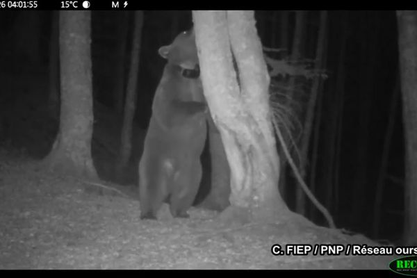 Image nocturne de l'ourse slovène Sorita filmée par une caméra installée sur un arbre de marquage par le Réseau Ours Brun.