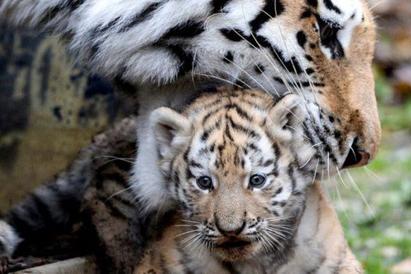 Première sortie pour les petits tigres de Sibérie