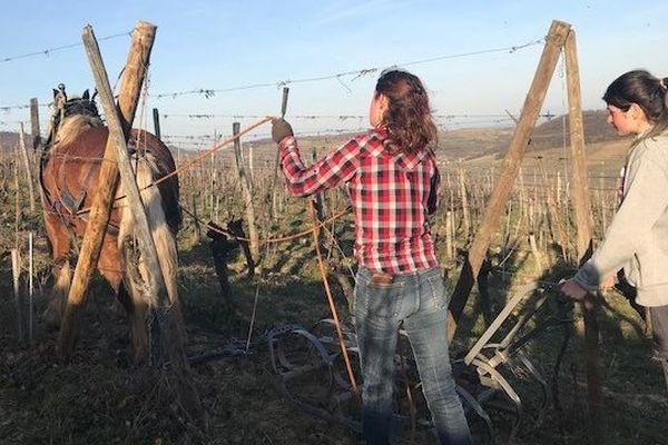 Sésame en plein travail de labour des vignes.
