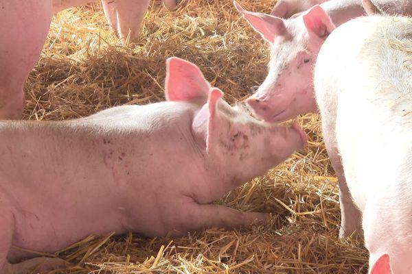 Le porc sur paille : une production encouragée par l'association Cohérence pour préserver la qualité de l'eau et réduire les lisiers.