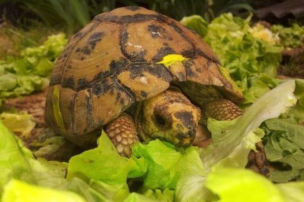 Une tortue attaque une Batavia