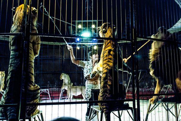 Selon un sondage IFOP, presque 3 français sur 4 souhaitent l'arrêt des spectacles d'animaux sauvages dans les cirques