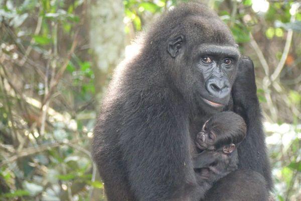 C'est le premier bébé de Mayombé, gorille née en captivité au zoo de Beauval et réintroduite en milieu naturel.