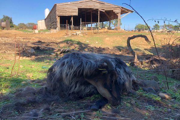 Plusieurs bêtes sont décédées de la maladie, comme ici, dans cet élevage à Ghisonaccia.