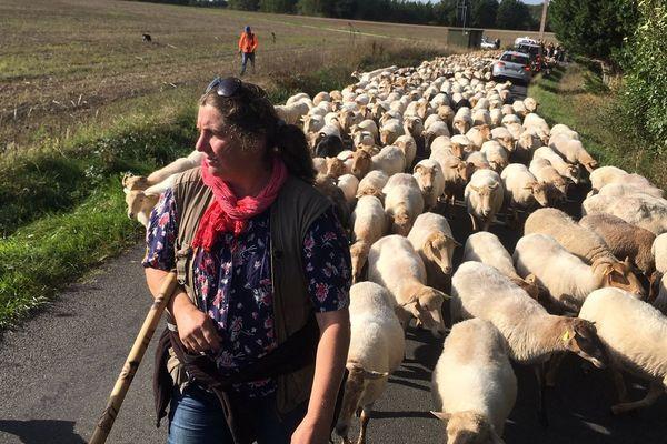 La grande transhumance, 600 moutons viennent de la Double pour investir le parc des expositions de Périgueux-Marsac à l'occasion du 10ème salon animalier