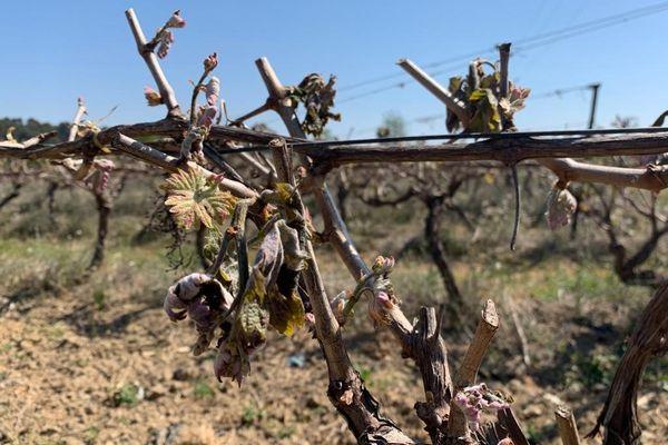 Dans le Minervois, jeunes pousses de vignes grillées par le gel la nuit dernière.