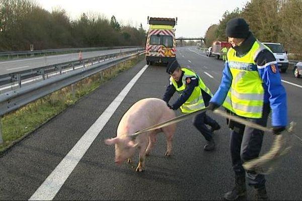 Le poids-lourd transportait 200 cochons.