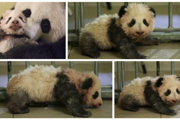 A 3 mois, Mini Yuan Zi, le bébé panda du Zoo de Beauval (Loir-et-Cher) a fait ses premiers pas.