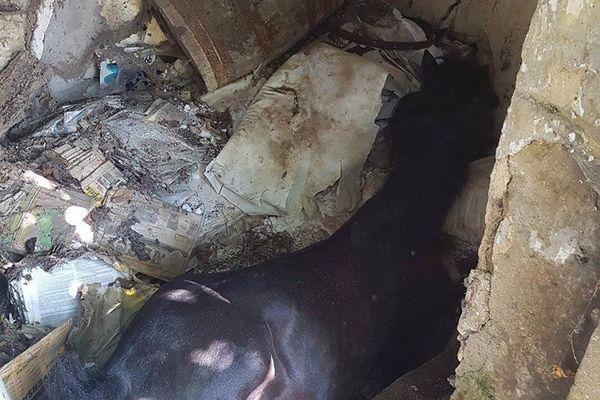 Le malheureux cheval est tombé dans une ancienne fosse septique