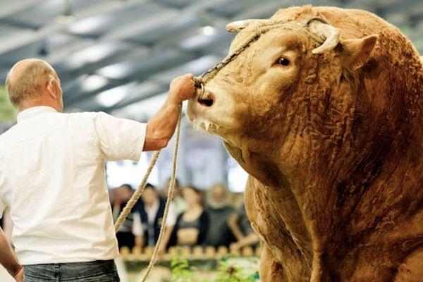 La Blonde d'Aquitaine, une des vedettes du Sommet de l'élevage 2012 de Clermont-Ferrand. Ici, un représentant mâle de l'espèce qui impose le respect.