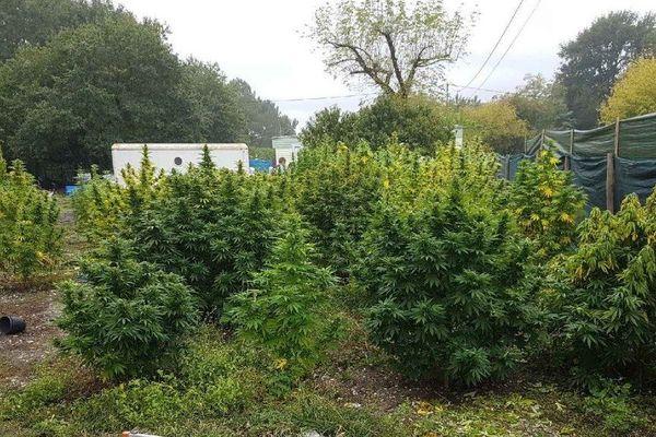 Les gendarmes ont découvert une cinquantaine de pieds de cannabis dans le jardin d'un particulier à Blanquefort