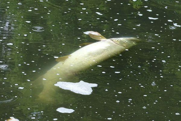 Des dizaines de brochets sont morts depuis qu'un produit chimique a été déversé dans l'eau.