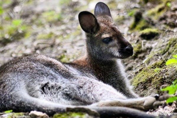 Une femelle kangourou est recherchée à proximité du parc Happy Forest près d'Agen dans le Lot-et-Garonne