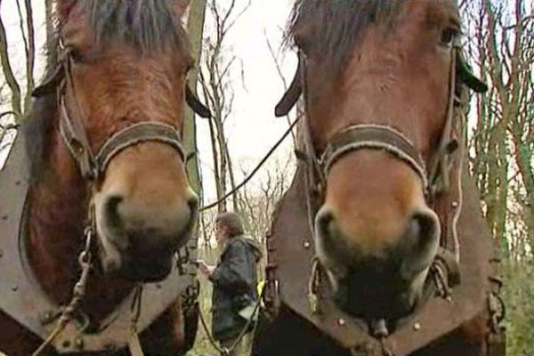 Les chevaux de trait dans la forêt de Montgeon jeudi au Havre