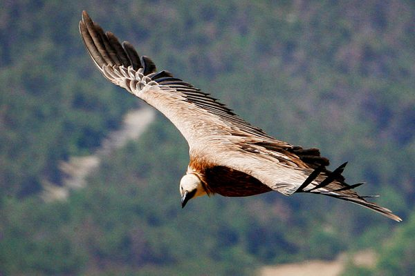 Le vautour fauve au dessus du Verdon figure sur la liste rouge des espèces menacées en Provence-Alpes-Côte d'Azur.