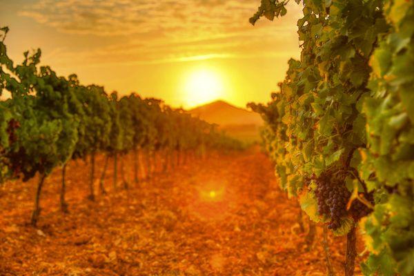 Des vignes sous le soleil de Lalonde-les-Maures dans le Var.