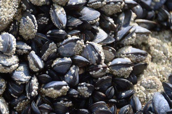 Le ramassage des moules à nouveau autorisé sur le bassin d'Arcachon