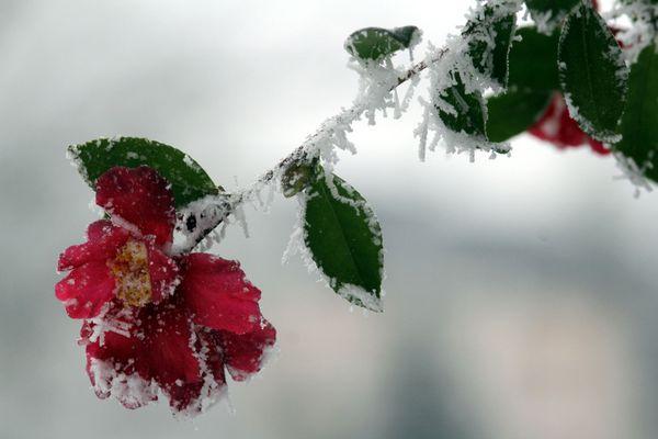 Fleur givrée...