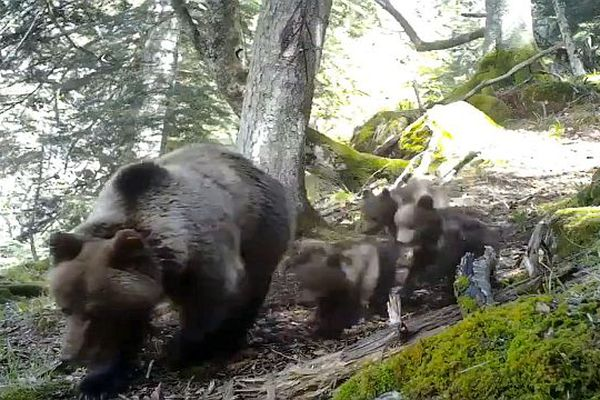 L'Ourse Sorita et 3 oursons en Béarn - 17 mai 2021.