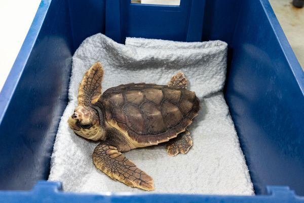 Luciole a été retrouvée échouée le 14 mars dernier à Carcans, en Gironde. Elle était alors déshydratée et en état d'hypothermie. Elle est aujourd'hui en pleine forme.
