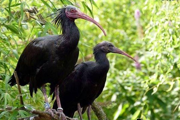 <p>Ces ibis chauves vont repartir dans la nature en Espagne.</p>