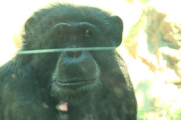 Un soigneur du parc zoologique de saint-Martin-la-Plaine (Loire) se fait arracher la main par un singe