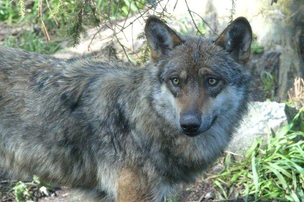 23 attaques de loup ont été recensées en Haute-Marne depuis début 2020.