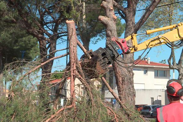 16 pins sont abattus rue de Maréchal-Leclerc à Argelès-sur-Mer, près de Perpignan - 14 avril 2021