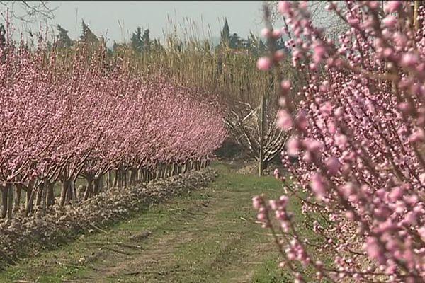 Paysage de carte postale avec les abricotiers en fleurs à Tarascon.