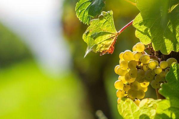 La vigne vulnérable au changement climatique
