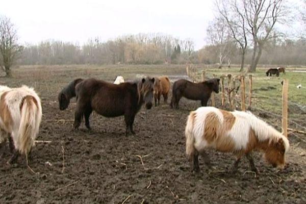 Les poneys à Epagne-Epagnette dans la Somme