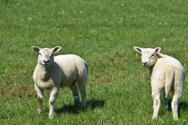 Comment la filière ovine vit-elle la crise du coronavirus ?