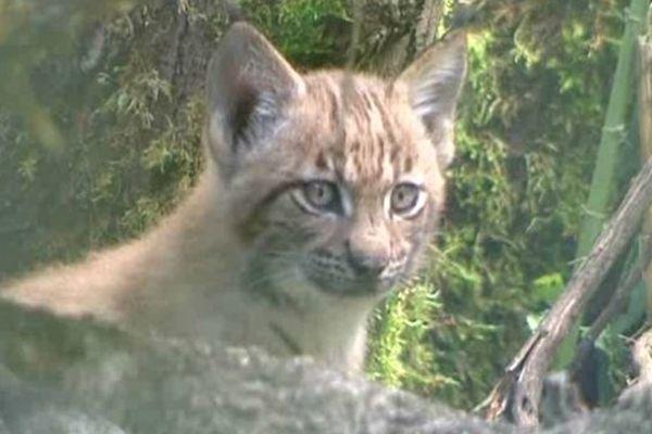 Bébés Lynx nés le 4 juin 2014 à la réserve de la Haute-Touche (Indre).  Leur naissance est l'aboutissement d'un programme de reproduction d'espèces menacées d'extinction.