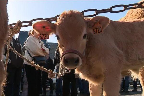 16 bovins Aubrac, taureaux, vaches et veaux, seront présentés dès samedi à Paris pour le salon de l'agriculture