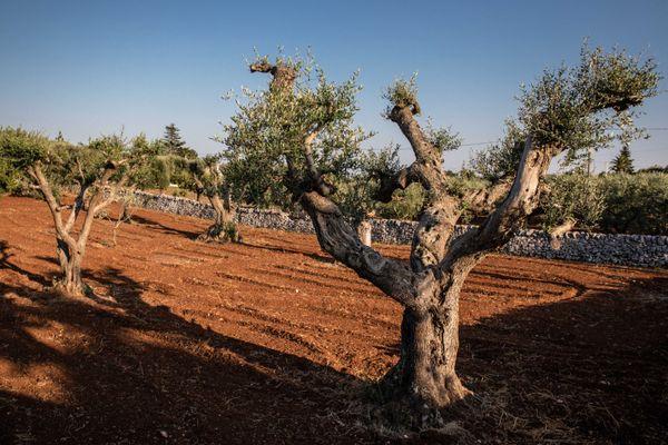 La bactérie s'est d'abord attaquée aux oliviers italiens.
