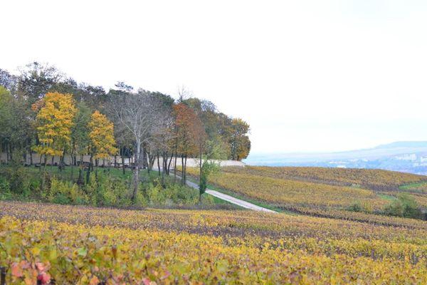 En automne, les vignes champenoises se parent de douces couleurs jaunes.