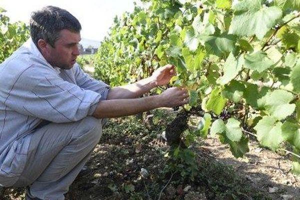 Jean-Christophe Bersan, viticulteur dans le Chablisien, vérifie ses pieds de vigne.