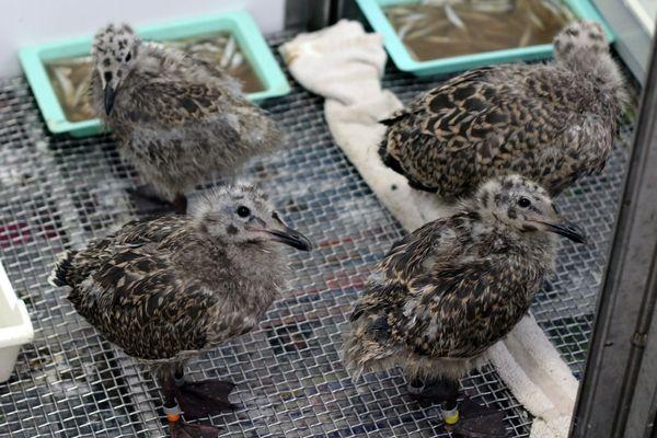 Les poussins goélands en trop grand nombre au centre de soins de la LPO de l'Ile Grande