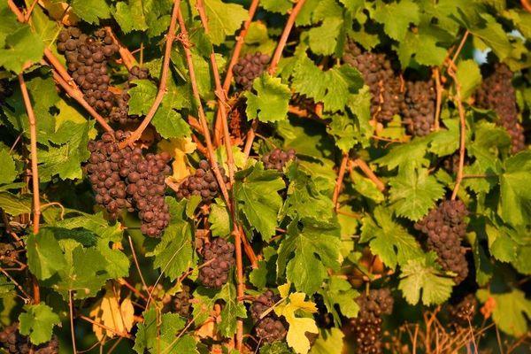 La production de vins en baisse en Alsace en 2019, selon les prévisions.