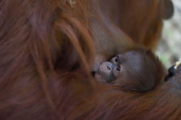 Le bébé orang-outan va bientôt fêter sa première semaine