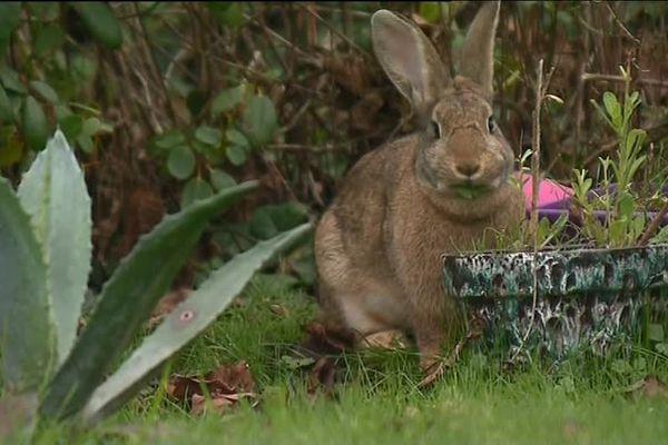 Plus d'une centaine de lapins ont trouvé la mort dans les jardins de particuliers du Trégor, depuis l'été.