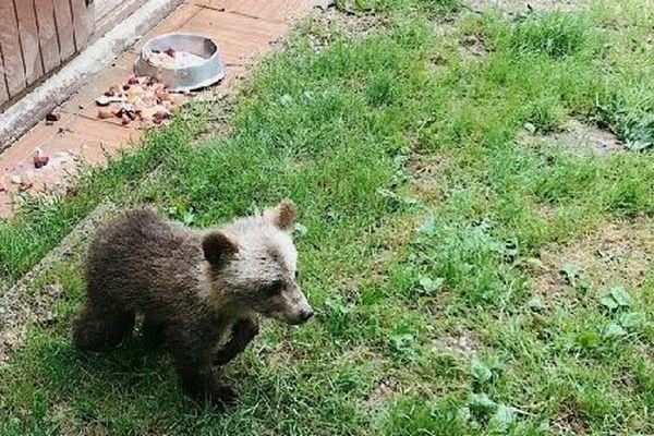 L'ourson qui s'était échappé a été retrouvé, capturé grâce à un cage avec appât