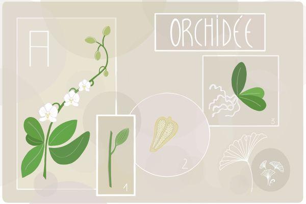 Il existe près de 30.000 espèces d'orchidées dans le monde.